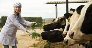 年轻狩医哺养的母牛画象在牛房户外 免版税库存图片