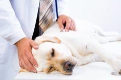 狩医检查狗的健康 库存图片