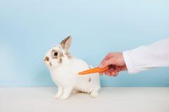 狩医诱使一只兔子用红萝卜 图库摄影