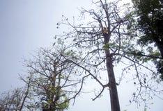 独奏收获的木棉树, Java,印度尼西亚 免版税库存图片