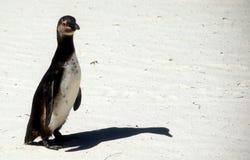 独奏的企鹅 免版税库存照片