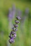 独奏的淡紫色 库存照片