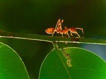 独奏的蚂蚁 免版税库存图片