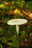 独奏蘑菇 免版税图库摄影