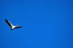 独奏飞行的白鹭的羽毛 免版税库存照片