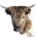 独奏高地的牛 免版税库存照片