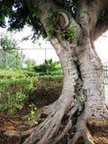 独奏结构树 免版税库存图片