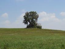 独奏结构树 免版税库存照片