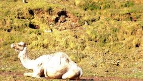 独峰驼在地面上说谎 一只野生兔子坐倾斜 影视素材