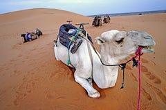 独峰驼在尔格沙漠在摩洛哥 免版税库存照片