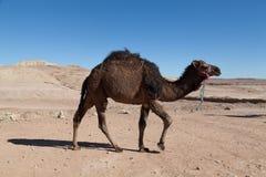 独峰驼在撒哈拉大沙漠 图库摄影