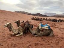 独峰驼在沙漠 免版税库存照片