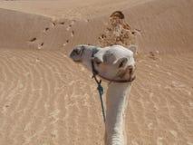 独峰驼在沙漠 库存图片