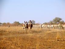 独峰驼在苏丹,非洲 库存照片
