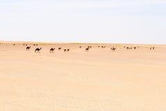 独峰驼牧群,磨擦AlKhali沙漠(阿曼) 免版税库存图片
