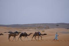 独峰驼连续在尔格摩洛哥的沙漠 免版税库存图片