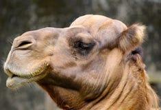独峰驼骆驼关闭 免版税库存图片