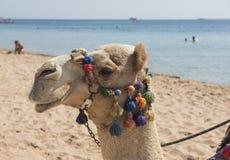 独峰驼骆驼头与华丽辔的在海滩 免版税图库摄影