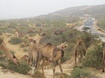 独峰驼骆驼牧群  免版税库存照片
