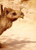 独峰驼骆驼(骆驼属Dromedarius) 库存照片
