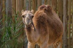 独峰驼骆驼 免版税库存图片