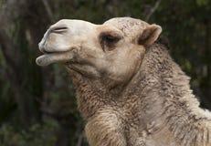 独峰驼骆驼头  库存照片