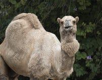 独峰驼骆驼 库存图片