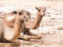 独峰驼骆驼jused运输在Danakil Depressi的盐 库存图片