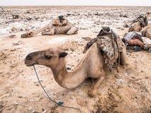 独峰驼骆驼jused运输在Danakil Depressi的盐 免版税库存图片