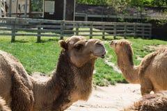 独峰驼-阿拉伯骆驼 免版税库存图片