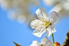 樱桃树花 免版税库存图片