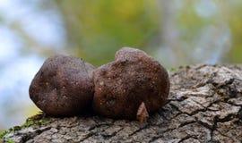 独特的木真菌 库存图片