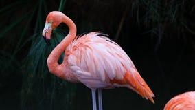 独特的红色火鸟在湖,高定义照片这美妙鸟在南美洲 图库摄影