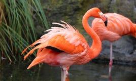 独特的红色火鸟在湖,高定义照片这美妙鸟在南美洲 免版税库存照片