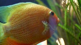 独特的金鱼游泳侧视图在绿色植物附近的水族馆的 ?? 与美好的美丽的标度,飞翅的金鱼 股票录像