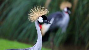 独特的非洲人在湖加冠了起重机,高定义照片这美妙鸟在南美洲 免版税库存照片