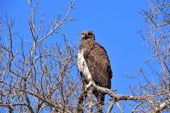 独眼的军事老鹰,寻找它的牺牲者 库存照片