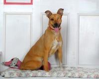 独眼的狗 免版税库存照片