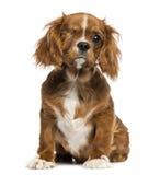 独眼的骑士查尔斯国王小狗开会, 4个月 免版税库存照片
