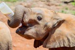 独立非洲大象小牛饮用奶 免版税图库摄影