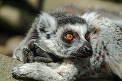 独自地休息胳膊的一只环纹尾的狐猴 图库摄影