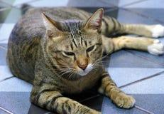 独裁的猫 库存照片
