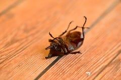 独角兽甲虫 免版税库存照片
