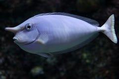 独角兽鱼 库存图片