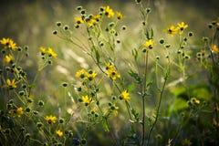 狭窄叶子向日葵 免版税库存照片