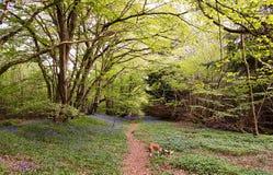 狭窄的道路穿过会开蓝色钟形花的草 库存照片