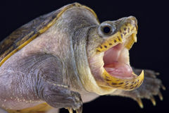 狭窄跨接的麝香乌龟(Claudius angustatus) 免版税图库摄影