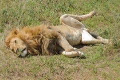 狮子休息的特写镜头 图库摄影
