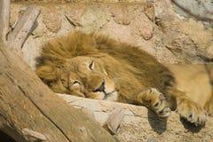 狮子休息的画象 免版税图库摄影
