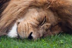狮子休眠 免版税库存图片